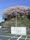 2008sakura4