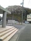 Sakura20092_2