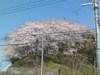 Sakura20093
