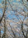 Sakura20097