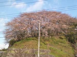 2010sakura1