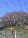 Sakura20071