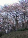 Sakura20072